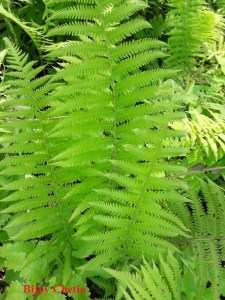 plants of Parasitic maiden fern are growing.