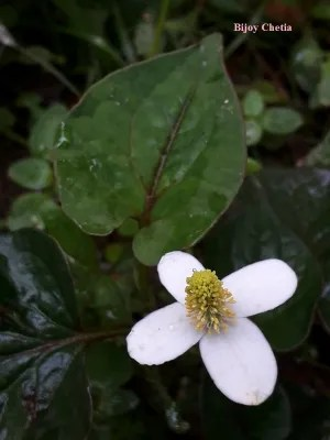 a white flower of Houttuynia cordata is blooming.
