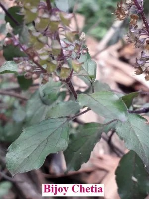 close up of leaves and flower of holy basil plants