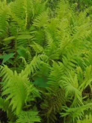 Parasitic maiden fern plants are growing naturally.