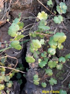 The lawn Pennywort plants has fruits and flowers and growing wild on soil.