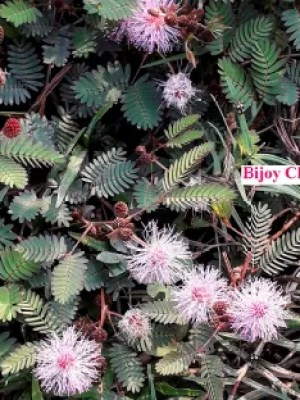 several red fruits and pink flowers are seen on Mimosa pudica plants