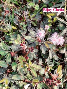 Touch Me Not plant (Mimosa pudica) are growing with pink flowers and red fruits.