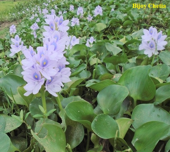 Water hyacinth plants are growing widely on mud.