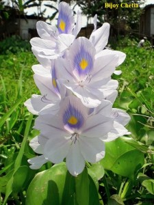 flowers of water hyacinth are blooming.