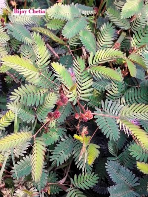Whole Mimosa pudica plants are growing and red fruits on it.
