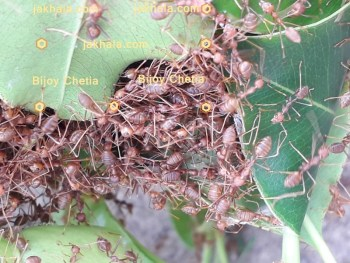 weaver ants are constructing their nest.