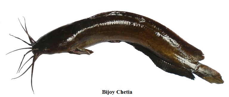 A full length of a cat fish (Magur) in white background.