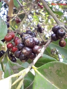 many many ripe and unripe fruits of Kau thekera are on branches.