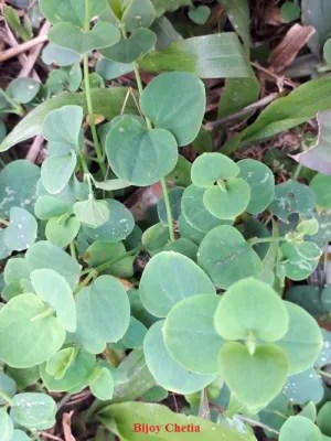 beautiful green Tropical Chickweed plants are creeping on ground
