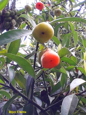Some ripe and unripe fruits of Garcinia lanceifolia are hanging at branches.