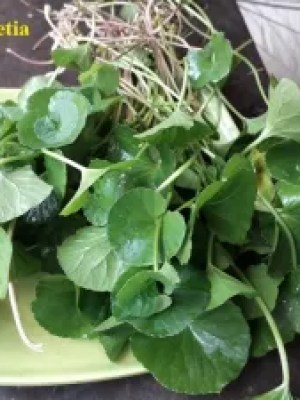 bunch of Centella asiatica on a plate