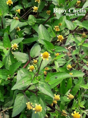 A full growing toothache plant on soil