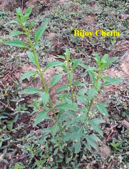 whole plant of Licorice weed is growing on soil