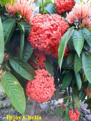 red flowers, buds and green leaves of Jungle flame ixora