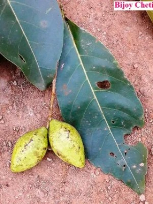 two fruits of Terminalia chebula with two leaves on soil