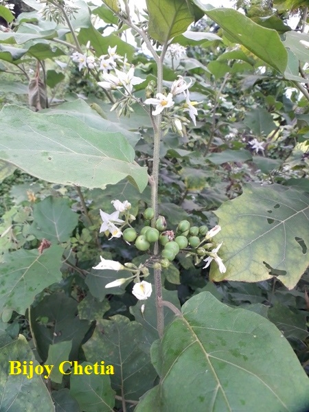 blooming devil's fig plants flowers, green fruits and green leaves