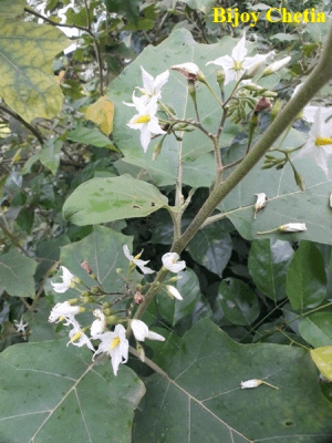 white flowers, buds and green leaves on stem of Solanum torvum
