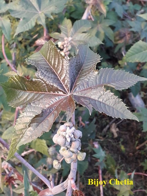 young redish green leaf with flowers of castor plant