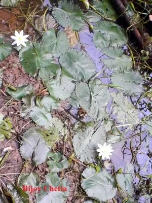 aquatic plant nenuphar is growing with two white flower on water