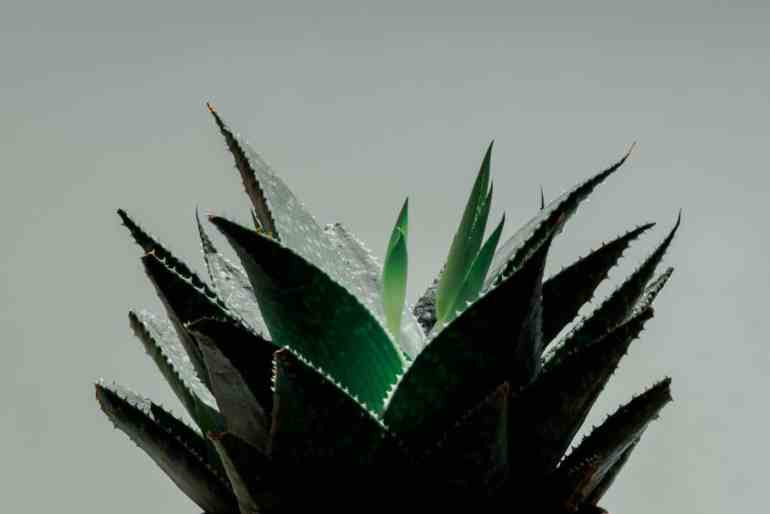 Aloe in cosmetics