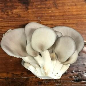 King Blue Oyster Mushroom