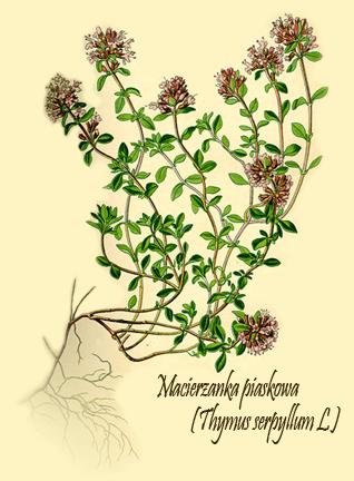 Thymus serpyllum - Macierzanka piaskowa | Synonimy łacińskie