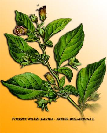 Atropa belladonna | Leki roślinne