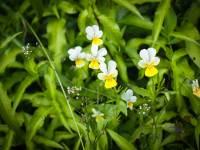Violae herba cumflore - Ziele fiołka trójbarwnego | Kiedy zbierać zioła