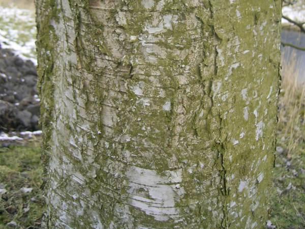 Kora brzozy omszonej (Betula pubescens Ehrh.) | Jak zbierać sok z brzozy