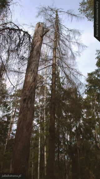 Stare martwe drzewa dodają uroku   Rezerwat Krzemienne Góry