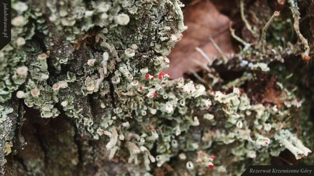 Chrobotek cienki i kieliszkowy | Rezerwat Krzemienne Góry