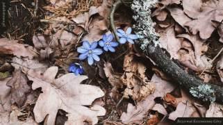 Przylaszczka pospolita (Hepatica nobilis Mill.)   Rezerwat Krzemienne Góry