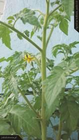 Kwitnące pomidory | Ogród na balkonie