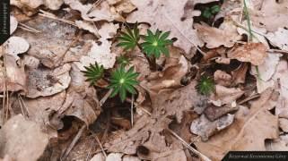 Młody łubin (Lupinus sp.) | Rezerwat Krzemienne Góry