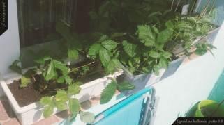 Poziomki | Ogród na balkonie