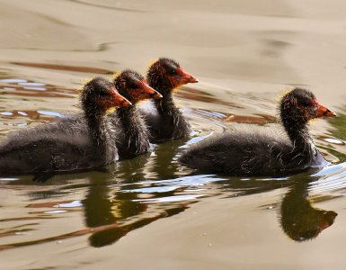 coots, chicks, leader