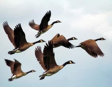 geese, birds, flock