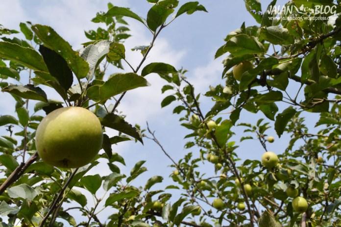 Ape apel dimana mana