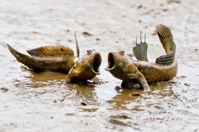 Mudskipper... (sumber:https://marineresourcesdatabase.wordpress.com/2013/12/29/ikan-glodok/)