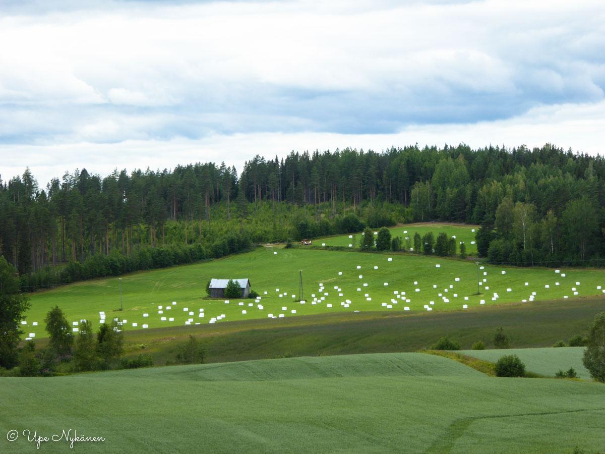 Rehupaaleja Lammintien varressa niityllä.