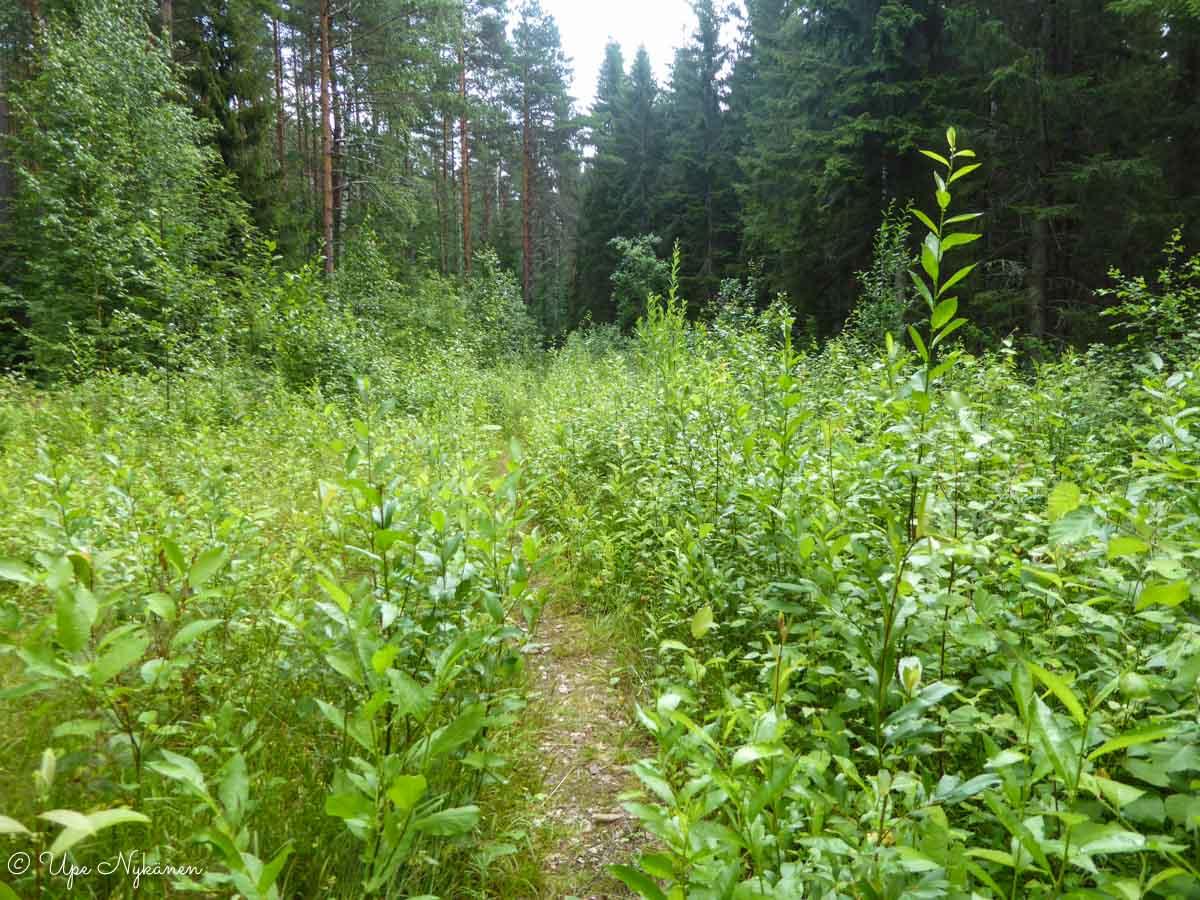 Melkein umpeenkasvanut Päijänne-Ilves-polku