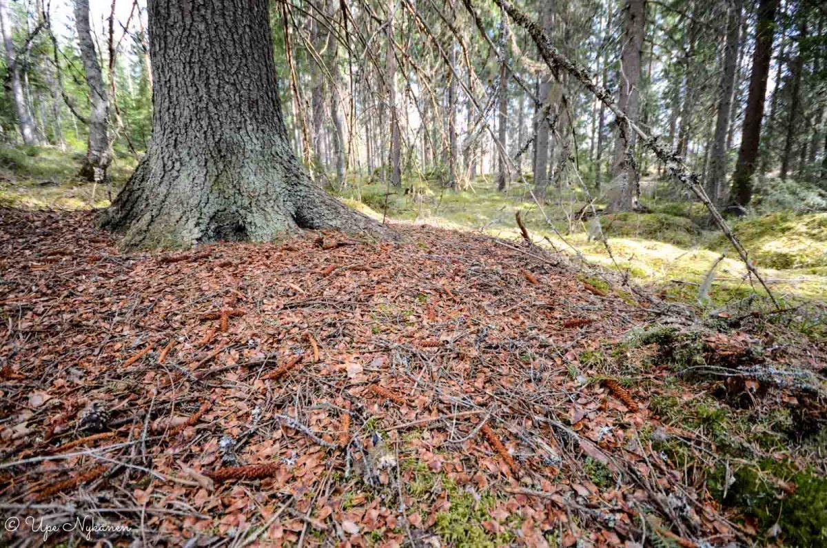 Oravan käpyjensyönnin jälkiä kuusen juurella.