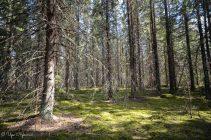 Vanhaa kuusikkoa, luontopolku Kontionjälki, Uurainen,