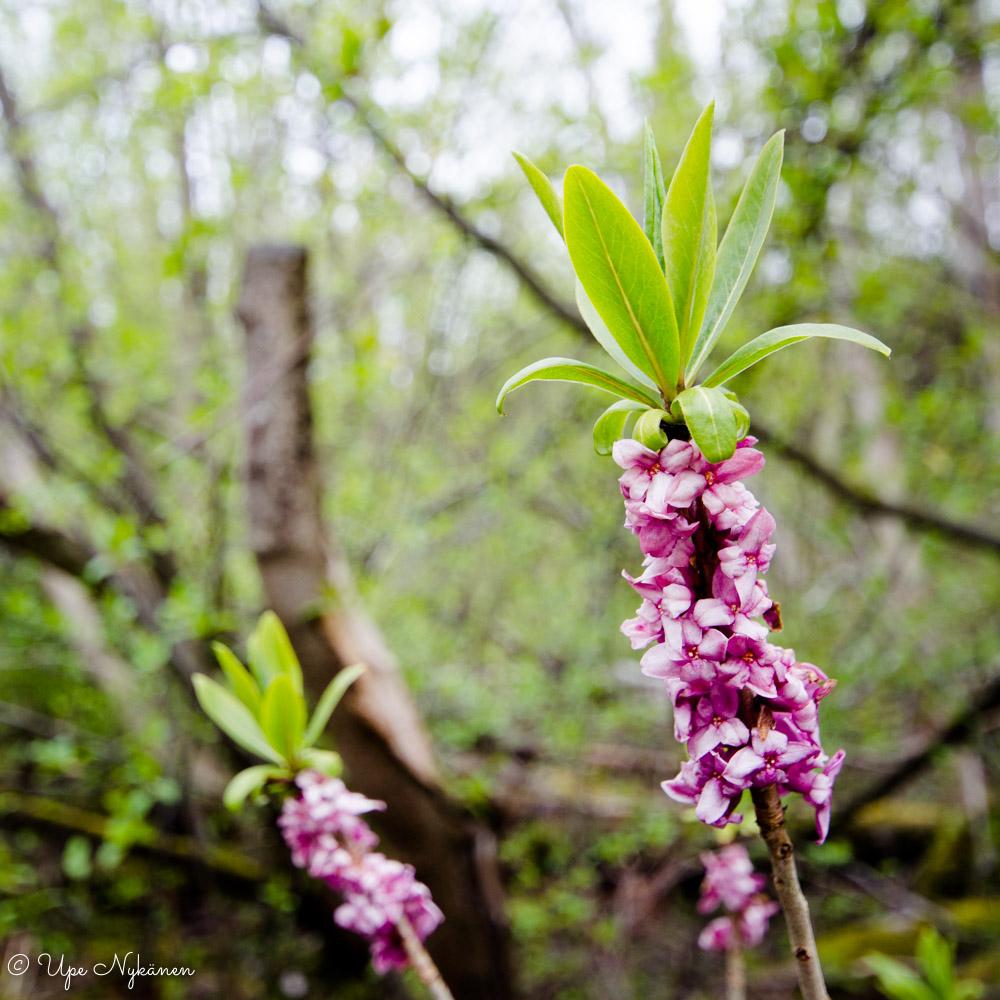 Näsiä kukkii luontopolun varressa.
