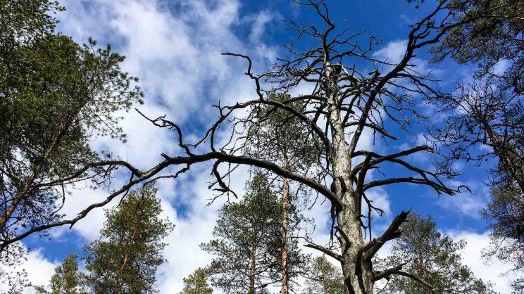 Pyhä puu Kinnulan Tikkakankaalla