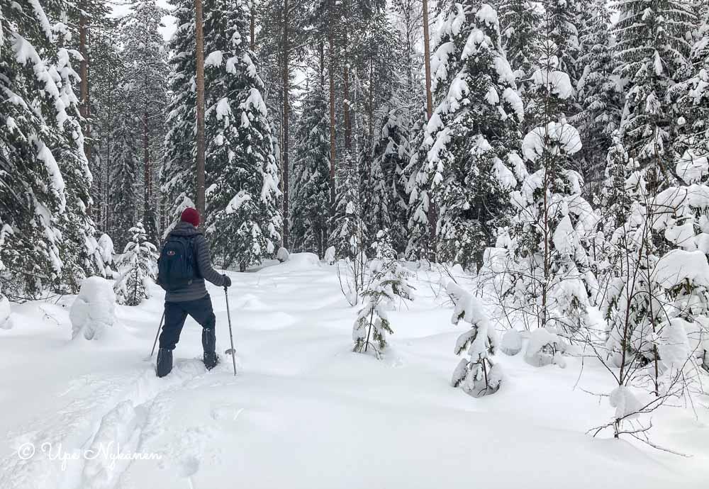 Karvapohjasuksihiihtaja umpihangessa metsässä.