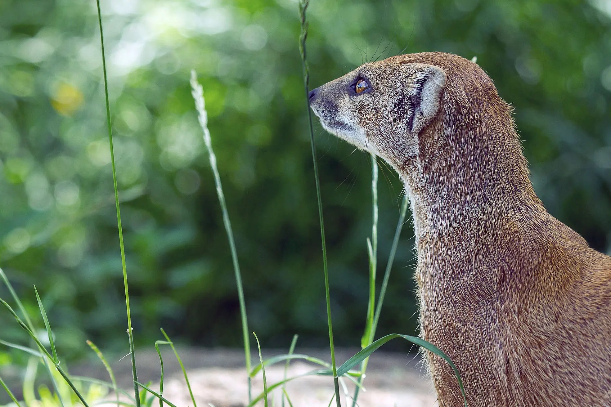 Image result for jamaican mongoose