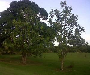 Two breadfruit trees