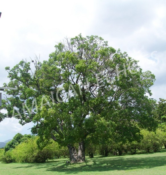 A guinep tree